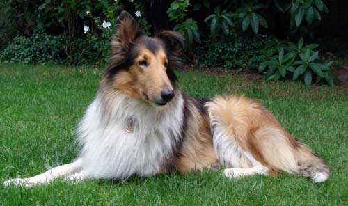 El Collie