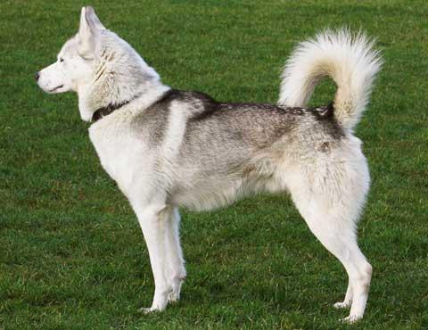 colores del siberian husky - (Siberian Husky) | Perros.
