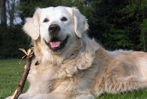 La raza de perros de la semana: el Golden Retriever