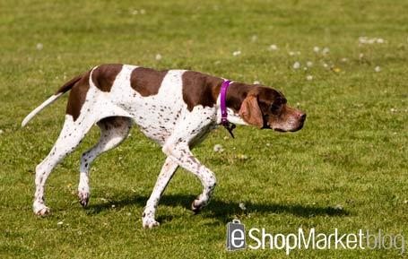 La raza de perros de la semana: el Pointer