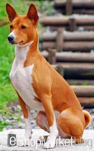 La raza de perros de la semana: el Basenji